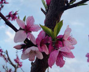 Peach Blossom Palisade