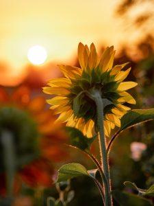 Sunflower following the sun