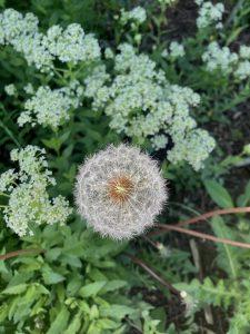 Weed in Garden